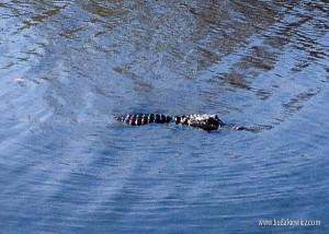 krokodyle przy Alligator Alley na Florydzie